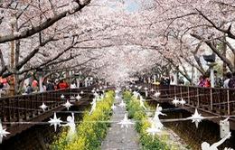 Đắm mình trong sắc tinh khôi của hoa anh đào Jinhae