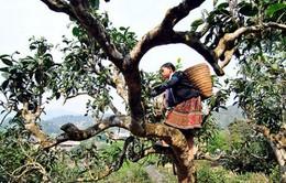 400 cây chè Shan cổ thụ Suối Giàng trở thành Cây di sản Việt Nam