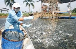 Cẩn trọng trước thông tin thiếu cá tra nguyên liệu
