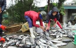 Kiên giang: Giá cá lồng giảm, người nuôi điêu đứng