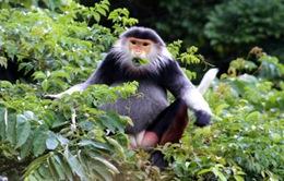 Hơn 70 con voọc ngũ sắc về trú ngụ ở rừng Bắc Hải Vân