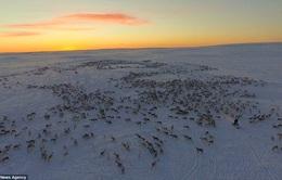 Cảnh di cư ngoạn mục của hàng ngàn con tuần lộc