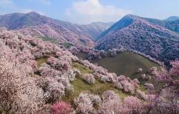 Cánh đồng hoa mai trải thảm hồng vô tận như thiên đường ở Trung Quốc