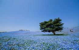 Ngất ngây sắc xanh quyến rũ của cánh đồng hoa Baby Blue Eyes ở Nhật