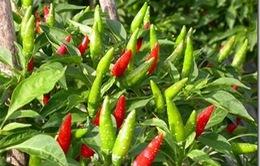 Công ty Hàn Quốc chi 2,1 triệu USD trồng ớt tại Việt Nam