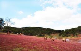 Đồi cỏ hồng Đà Lạt đẹp ngất ngây những ngày đầu đông