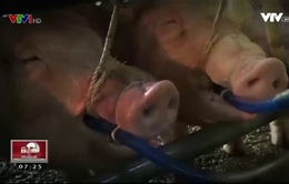 Khó phát hiện lợn bị bơm nước và thuốc an thần