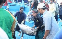 Tư thương quyết giá, người câu cá ngừ gặp khó khăn