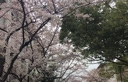 Khách du lịch đổ xô đến Nhật Bản ngắm hoa anh đào