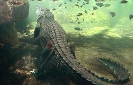 Tắm biển ở Australia, nữ du khách bị cá sấu tấn công