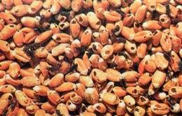 Dừng nhập khẩu lạc từ Senegal vì phát hiện 2 loại mọt nguy hiểm