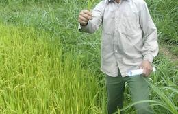 Bình Định: Lúa chết cháy, thủy điện vẫn không chịu xả nước
