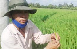 Nông dân ĐBSCL lo lắng vì lúa trổ đòng sớm