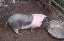 Lợn dự án chết hàng loạt, hộ chăn nuôi gặp khó