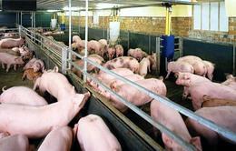Xử phạt sử dụng chất cấm trong chăn nuôi vẫn chưa đủ sức răn đe
