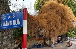 Tâm sự buồn về cây hoa giấy đột ngột chuyển màu vàng ở Hà Nội