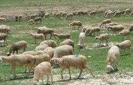 Nắng hạn, nông dân Ninh Thuận phải thuê ruộng giá cao chăn thả cừu