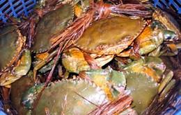 Cà Mau: Cua  biển tăng giá sau đợt hạn mặn