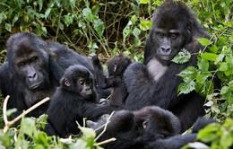 Khỉ đột đứng trước nguy cơ tuyệt chủng