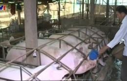 Phấn đấu đến năm 2020 không còn kháng sinh trong chăn nuôi