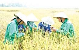 Doanh nhân Trần Mạnh Báo và niềm đam mê với cây lúa (15h35, VTV1)