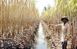 Mía Cù Lao Dung bị thiệt hại nặng nề do hạn, mặn
