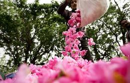 Ngất ngây vẻ đẹp mùa hoa hồng nở rộ ở Iran