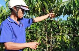 Cảnh báo tình trạng mất trộm cà phê tại vườn ở Lâm Đồng