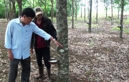 Nông dân Phú Yên chặt bỏ cây cao su do năng suất thấp