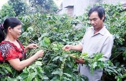 Xây dựng nhãn hiệu tập thể cho cà phê Khe Sanh