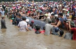 VIDEO Giải cứu thành công cá voi 15 tấn mắc cạn ở Nghệ An