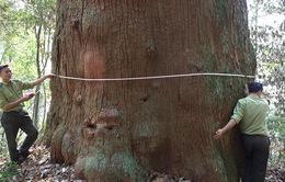 56 cây samu dầu ở Nghệ An là cây di sản Việt Nam