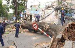 Công ty Điện lực Lâm Đồng phản hồi về vụ cây thông cổ thụ bật gốc kéo đổ 6 cột điện