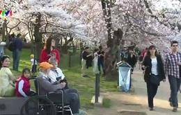 Hoa anh đào nở sớm ở Washington DC, Mỹ
