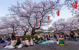 Lễ hội ngắm hoa anh đào Hanami tại Hà Nội