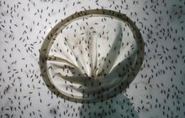 Trung Quốc thả 3 triệu con muỗi để ức chế dịch sốt xuất huyết và Zika