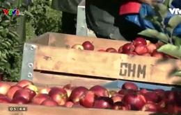Nông dân Bỉ bảo quản táo theo cách nào?