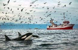 Ấn tượng những bức ảnh đẹp về cá voi ở Bắc Cực