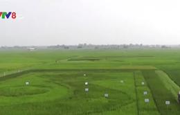 Độc đáo bản đồ Việt Nam khổng lồ trên cánh đồng lúa