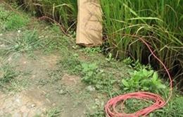 Hiểm họa chết người từ bẫy điện diệt chuột ở Long An