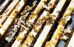 Hạn hán ảnh hưởng đến nghề nuôi ong ở Bồ Đào Nha