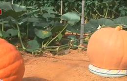 Ý tưởng độc đáo về vườn bí ngô khổng lồ