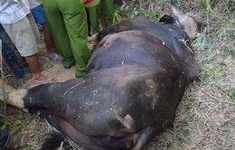 Đồng Nai: Phát hiện một cá thể bò tót bị xẻ thịt nhiều bộ phận