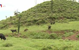 Nhật Bản thiếu hụt nguồn cung cấp thịt bò nội địa
