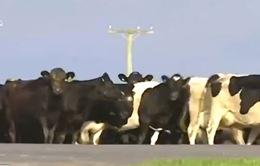 Vụ trộm bò sữa lớn chưa từng có ở New Zealand