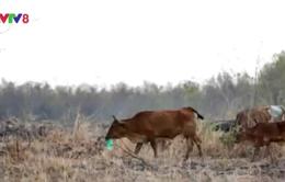 Thiếu thức ăn do nắng hạn, bò chết vì phải ăn... rác