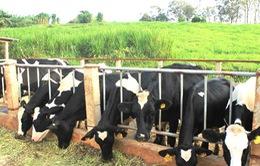 Chất lượng bò sữa giống tại Hà Nam không đảm bảo
