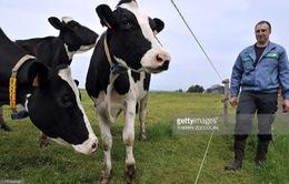 Trang trại đàn bò hạnh phúc ở châu Âu
