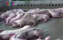 Khánh Hòa: Di dời toàn bộ lò mổ ra khỏi thành phố Nha Trang