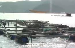 Phú Yên: Cá bớp nuôi bị chết do nhiễm vi khuẩn